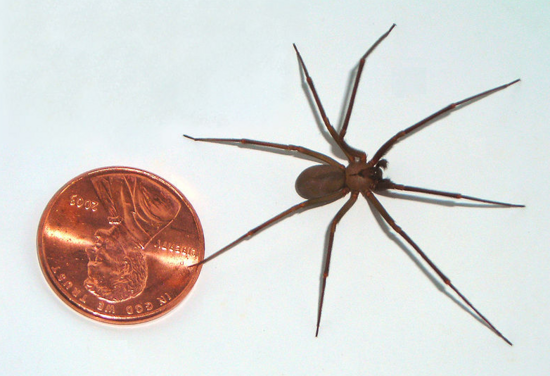 Brown Recluse Size, How Big is a Georgia Brown Recluse